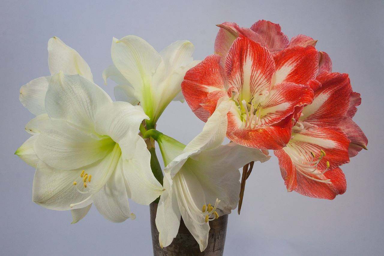 The Amaryllis is a Regal Tall Stemmed Houseplant
