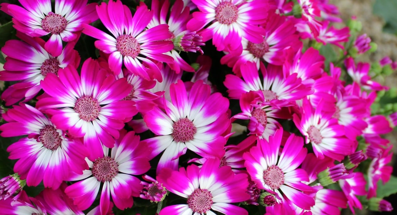 A Traditional Flowering Houseplant is the Cineraria