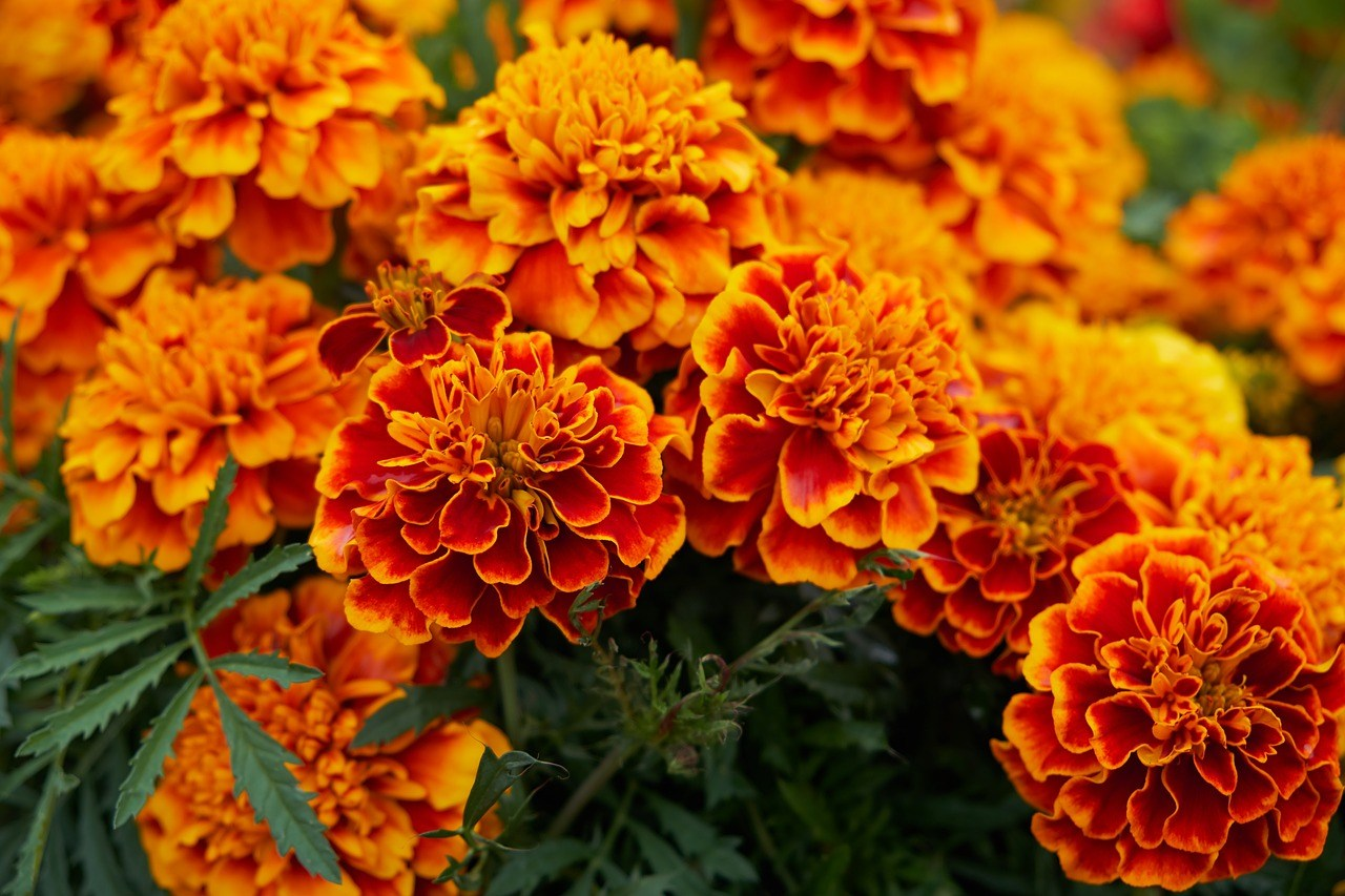 Recommended Plants for Gardening in St. Louis, Missouri