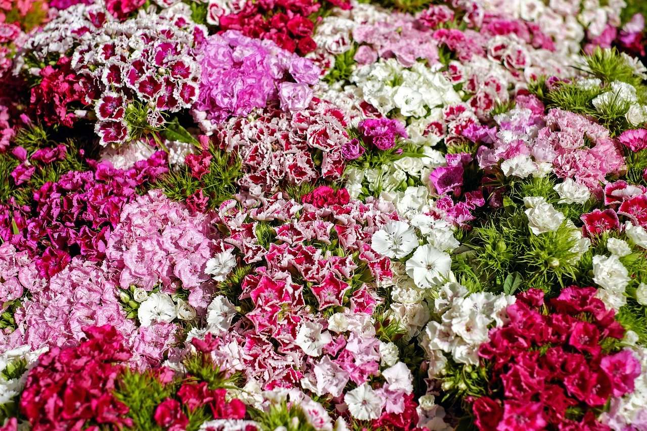 Gardening with Dianthus