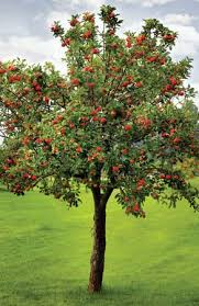 Malus domestica (Apple tree) Good for honey bees, Solitary bees, and bumble Bees. Good for April-May.