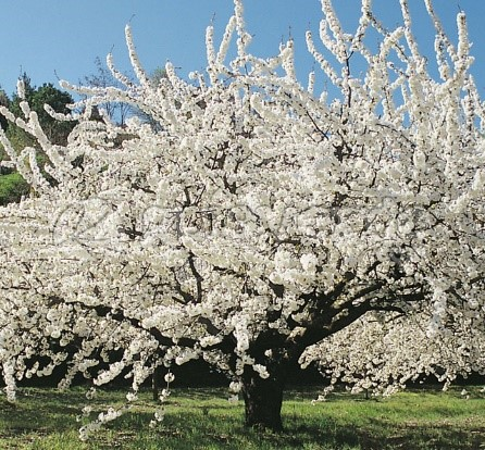 Prunus Avium (Sweet cherry Tree) Good for honey bees,solitary bees, and bumble Bees. Good for April-May