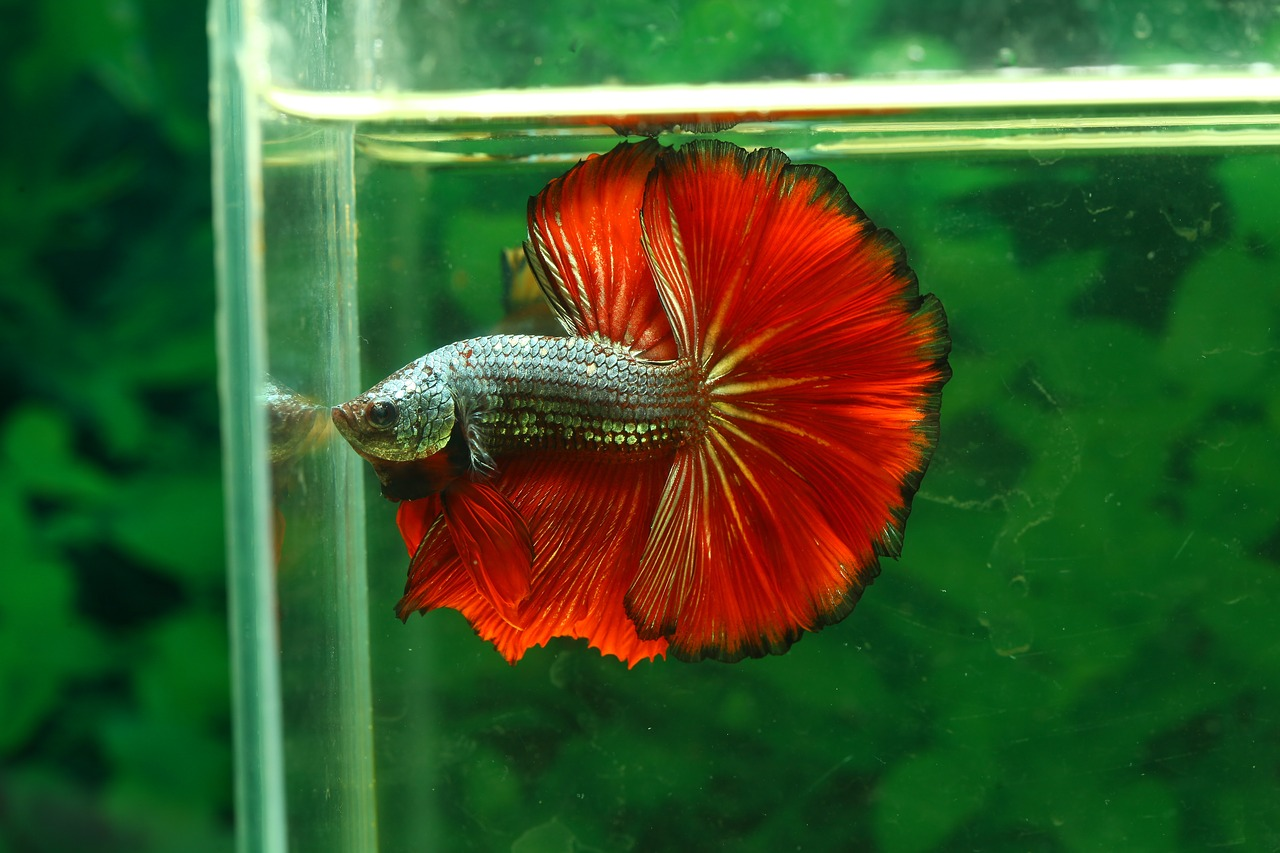 Acclimating a Betta to a New Tank