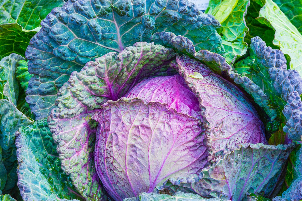 cabbage for survival