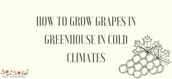 How To Grow Grapes in Greenhouse in Cold Climates