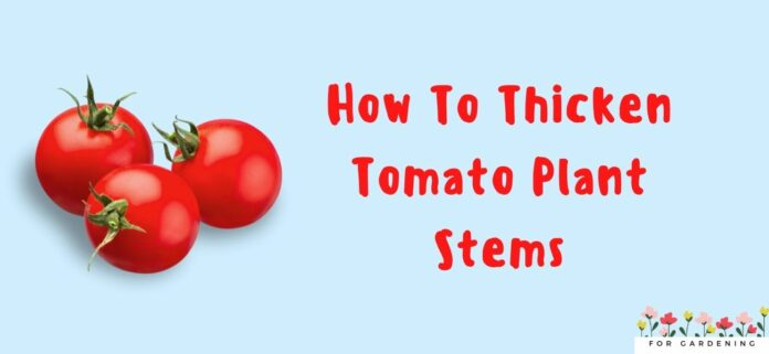 How To Thicken Tomato Plant Stems And Accelerate Tomato Plant Growth