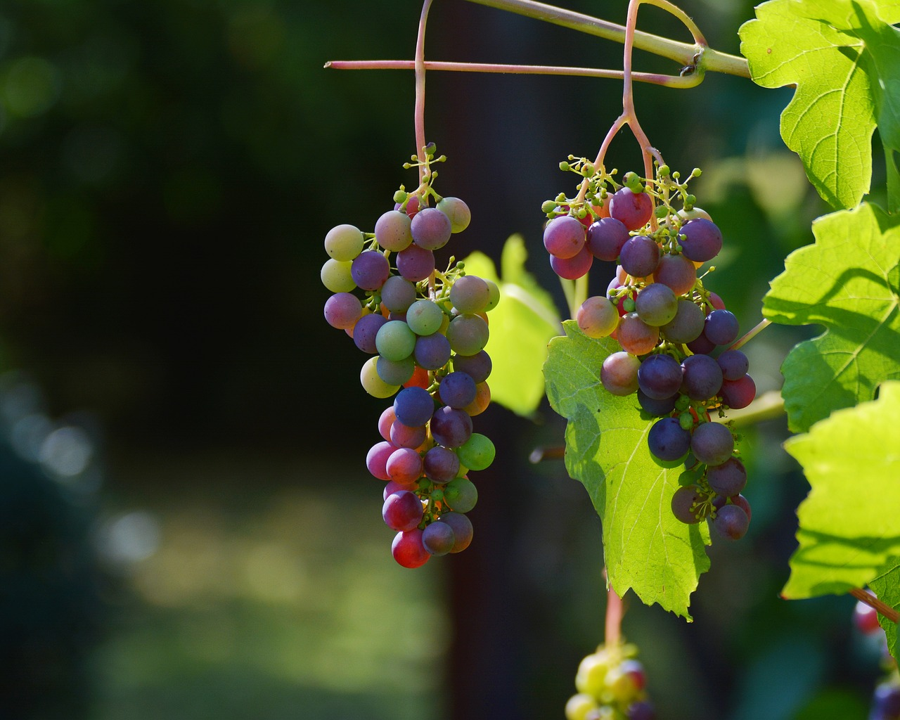 Grow Grapes in Greenhouse in Cold Climates